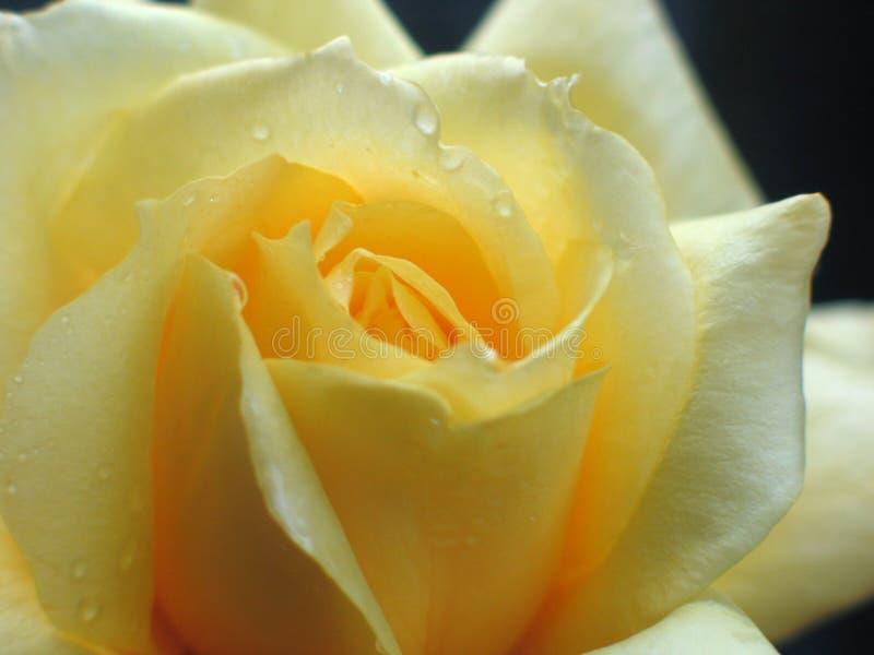 όμορφος αυξήθηκε κίτρινο& στοκ φωτογραφίες με δικαίωμα ελεύθερης χρήσης