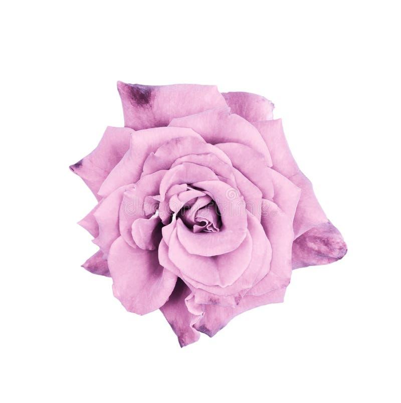 Όμορφος αυξήθηκε κοντά επάνω Αυξήθηκε κεφάλι που απομονώθηκε Λουλούδια κήπων r r στοκ εικόνες με δικαίωμα ελεύθερης χρήσης