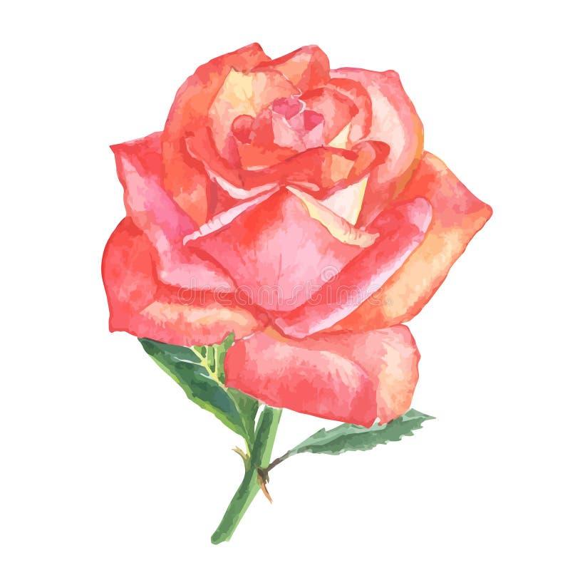 Όμορφος αυξήθηκε watercolor ζωγραφισμένο στο χέρι που απομόνωσε στο άσπρο υπόβαθρο διανυσματική απεικόνιση