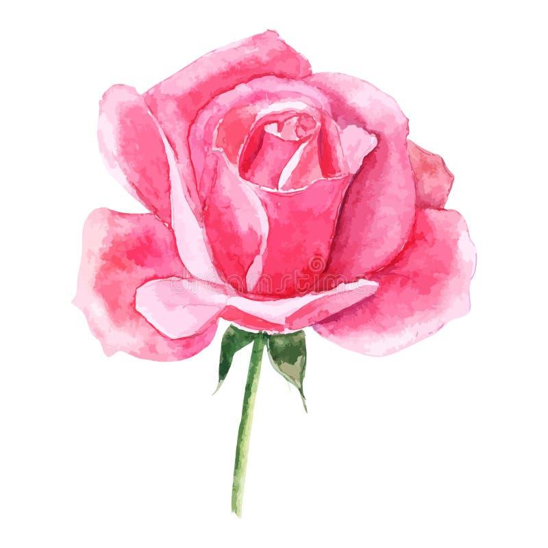 Όμορφος αυξήθηκε watercolor ζωγραφισμένο στο χέρι που απομόνωσε στο άσπρο υπόβαθρο ελεύθερη απεικόνιση δικαιώματος