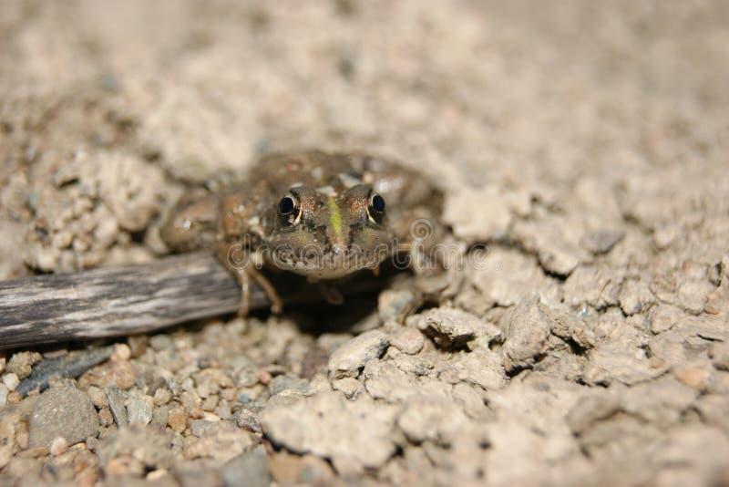 Όμορφος βάτραχος στο άγριο κράτος του στοκ εικόνες