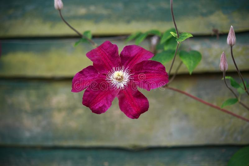 Όμορφος βαθύς - ρόδινο, πορφυρό λουλούδι Clematis Jackmanii στον κήπο στοκ εικόνες
