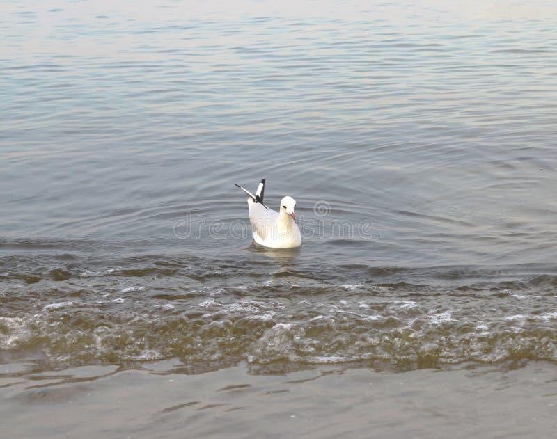 Όμορφος γλάρος παραδείγματος στην παραλία στοκ εικόνα με δικαίωμα ελεύθερης χρήσης