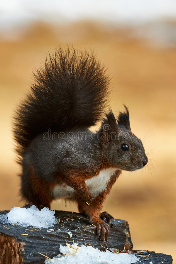 Download Όμορφος ευρωπαϊκός σκίουρος Στοκ Εικόνα - εικόνα από φυσικός, αδελφών: 62703221