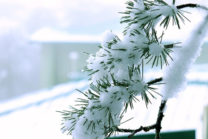 Όμορφος εχιόνισε κλάδος δέντρων πεύκων Χρήση για το όμορφη φυσική υπόβαθρο ή την ταπετσαρία πρωινού στοκ εικόνες