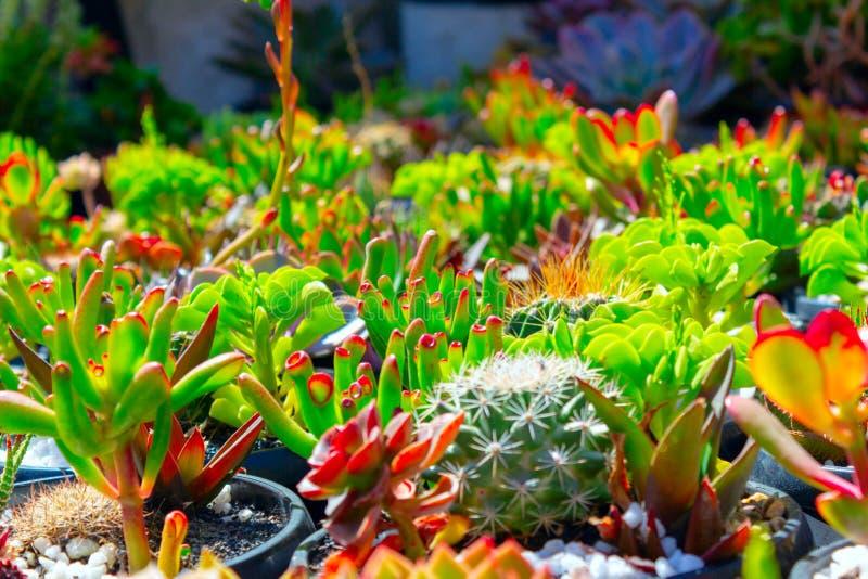 Όμορφος ζωηρόχρωμος τομέας των λουλουδιών κάκτων την ηλιόλουστη ημέρα στοκ φωτογραφία με δικαίωμα ελεύθερης χρήσης