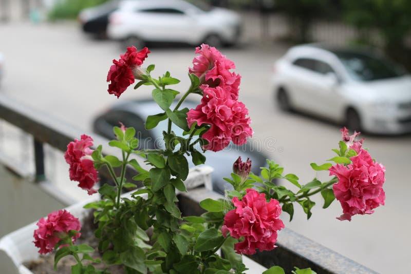 Όμορφος ζωηρόχρωμος του λουλουδιού πετουνιών φρεσκάδας άνθος και της αύξησης του δοχείου κοντά στο παράθυρο έξω, μπαλκόνι που δια στοκ φωτογραφία