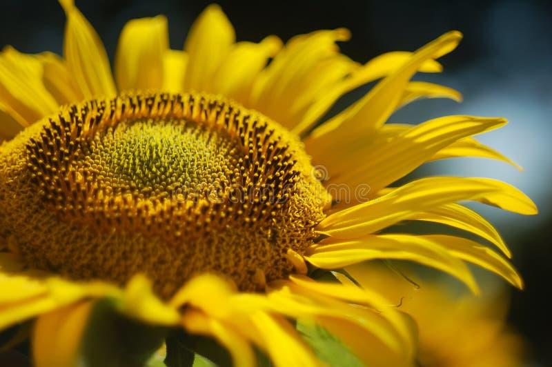 όμορφος ηλίανθος πετάλων στοκ φωτογραφίες