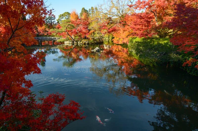 Όμορφος ιαπωνικός κήπος λιμνών με τις αντανακλάσεις δέντρων σφενδάμνου φθινοπώρου και τα ζωηρόχρωμα ψάρια στοκ εικόνες με δικαίωμα ελεύθερης χρήσης