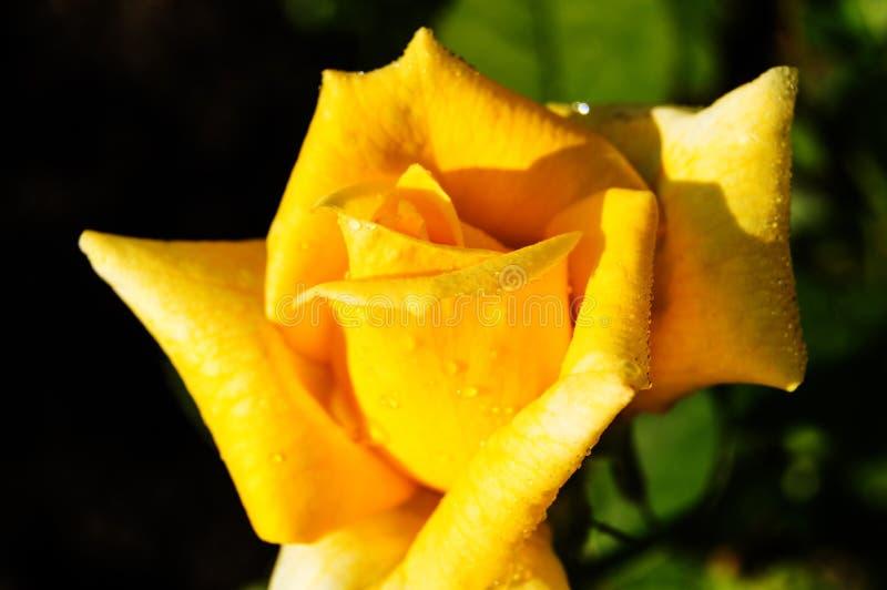 Όμορφος κίτρινος αυξήθηκε ανθίσεις στον κήπο στο μαύρο υπόβαθρο, έννοια ευχετήριων καρτών, φωτεινό φως του ήλιου στοκ φωτογραφία