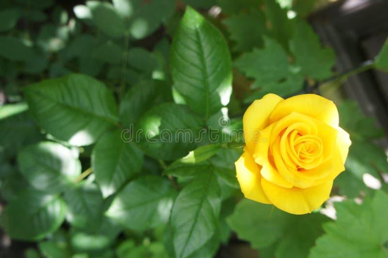 Όμορφος κίτρινος αυξήθηκε λουλούδι σε έναν κήπο στοκ εικόνα