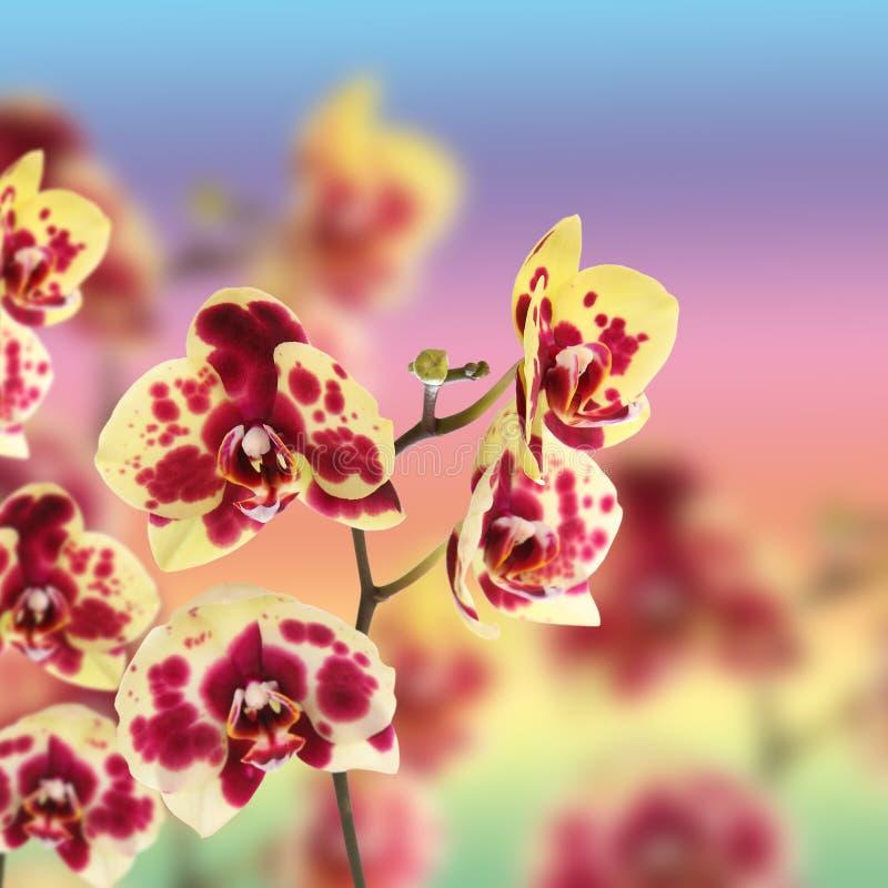 Όμορφος κίτρινος με κόκκινο orchid σημείων στοκ φωτογραφία με δικαίωμα ελεύθερης χρήσης