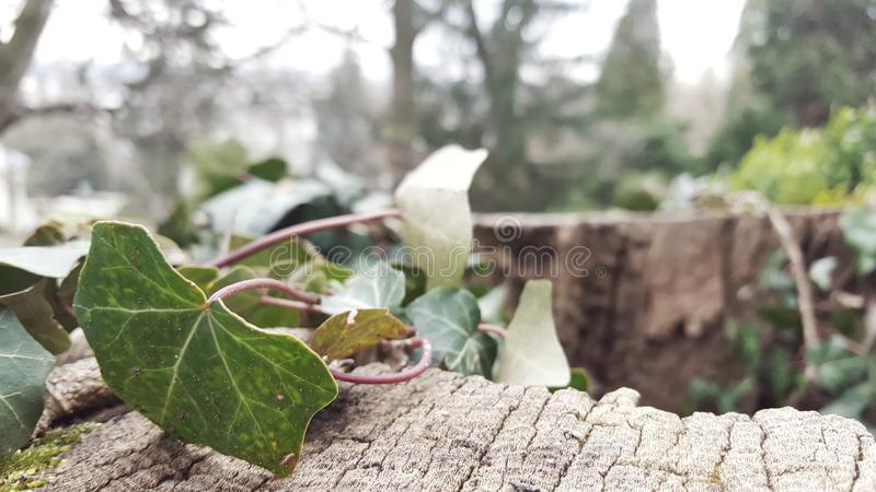 όμορφος κισσός στο πάρκο στοκ φωτογραφίες με δικαίωμα ελεύθερης χρήσης