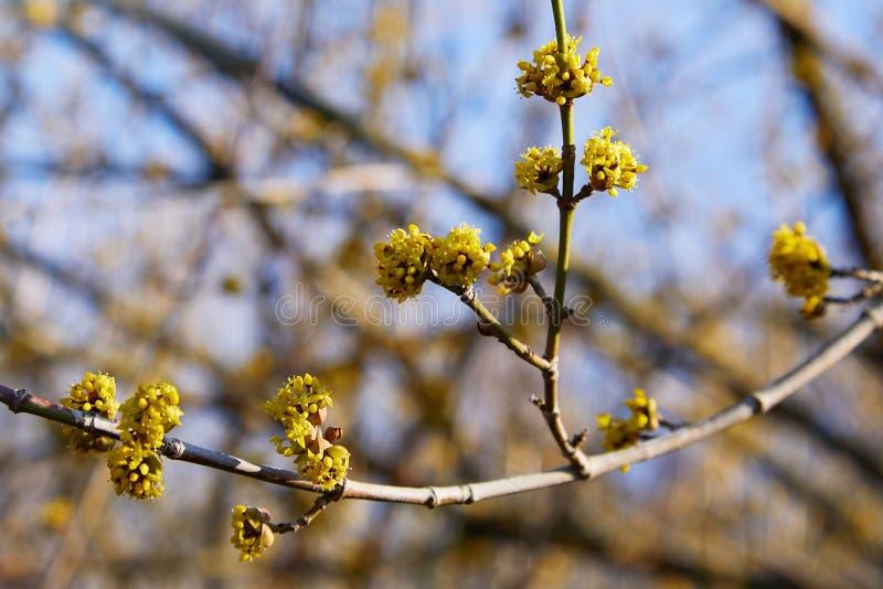 Όμορφος κλαδίσκος με τα φωτεινά κίτρινα λουλούδια στο θολωμένο φυσικό πράσινο υπόβαθρο στοκ φωτογραφία με δικαίωμα ελεύθερης χρήσης