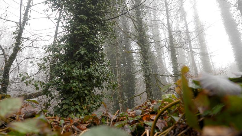 Όμορφος κορμός δέντρων που καλύπτεται με τον πράσινο κισσό στο ομιχλώδες δάσος, άποψη από το κατώτατο σημείο r Μυστήριο άλσος μέσ στοκ εικόνες