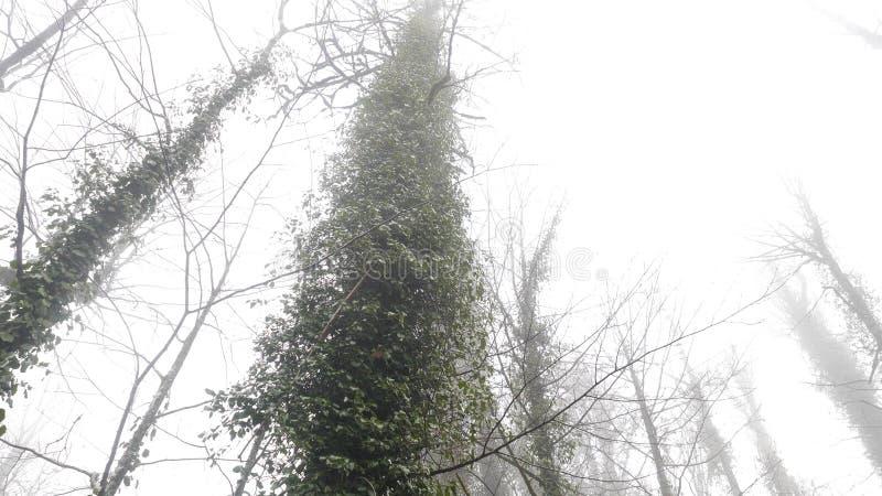 Όμορφος κορμός δέντρων που καλύπτεται με τον πράσινο κισσό στο ομιχλώδες δάσος, άποψη από το κατώτατο σημείο r Μυστήριο άλσος μέσ στοκ φωτογραφίες