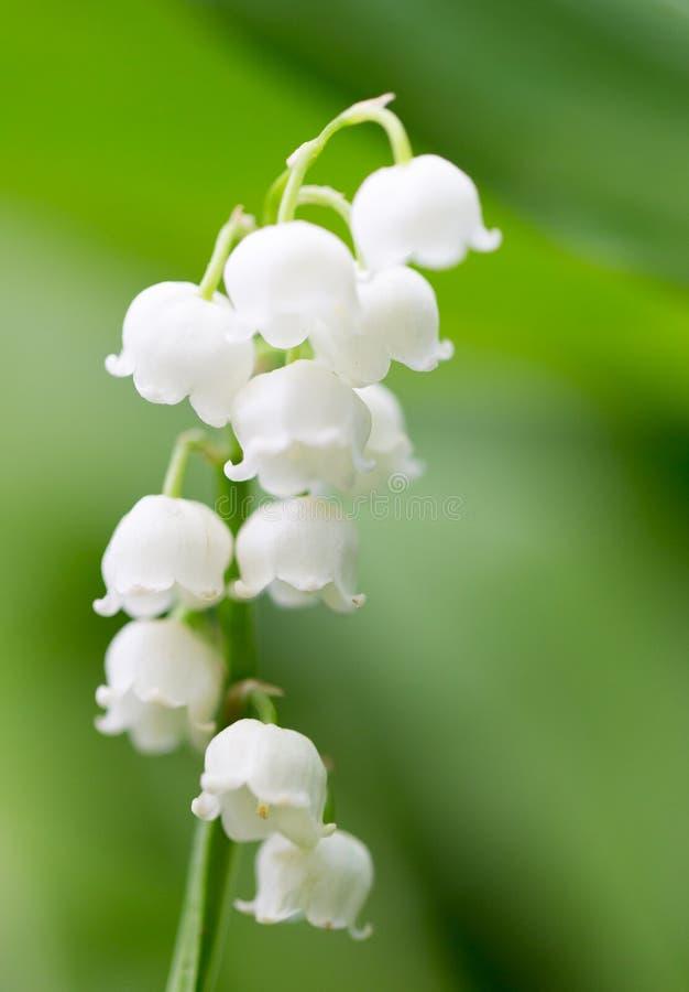 Όμορφος κρίνος λουλουδιών της κοιλάδας στη φύση στοκ εικόνα