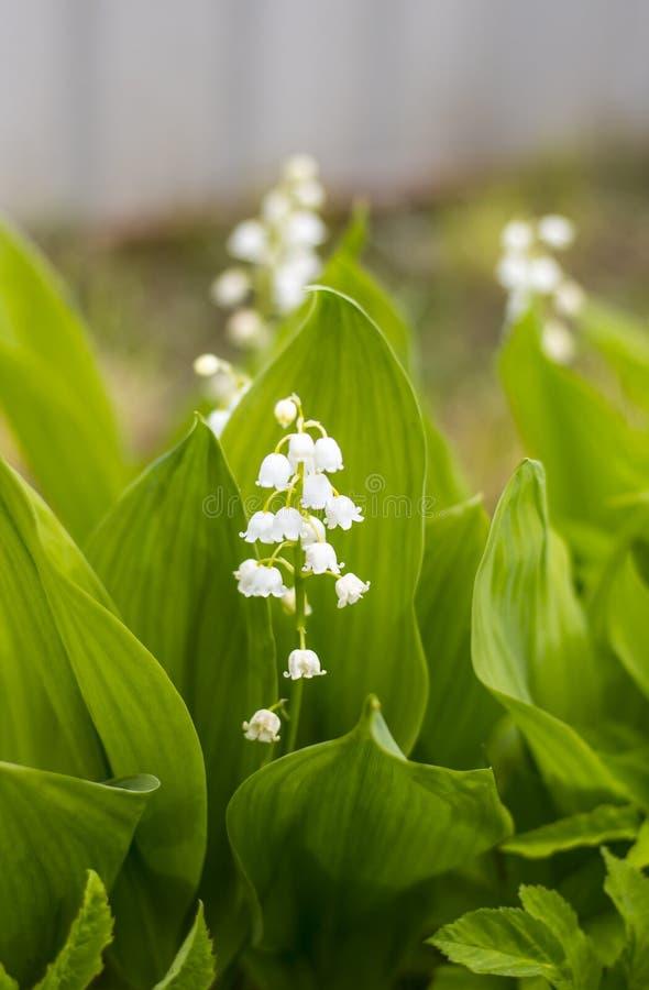 Όμορφος κρίνος του λουλουδιού κοιλάδων με τον κήπο στοκ εικόνες