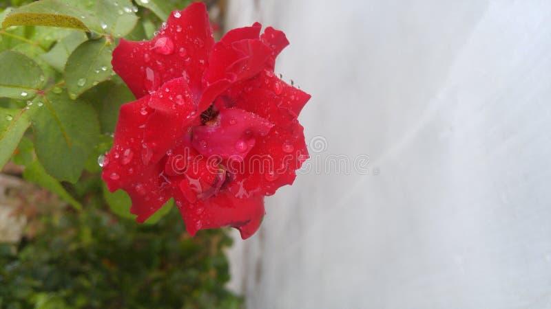 όμορφος κόκκινος αυξήθηκε στοκ φωτογραφία