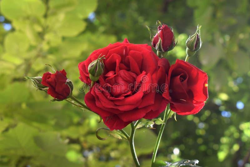 όμορφος κόκκινος αυξήθηκε στοκ φωτογραφία με δικαίωμα ελεύθερης χρήσης