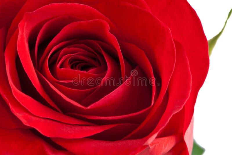 όμορφος κόκκινος αυξήθη&kapp στοκ εικόνα
