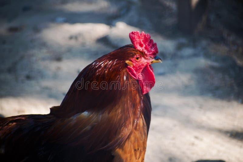 Όμορφος κόκκορας στην αγροτική κινηματογράφηση σε πρώτο πλάνο Ο καφετής κόκκορας περνά από το αγροτικό ` s ναυπηγείο Κόκκορας στο στοκ εικόνες