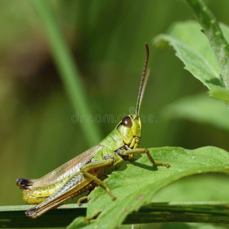 Όμορφος μακρο πυροβολισμός grasshopper στη χλόη Στενός επάνω φύσης στοκ εικόνες με δικαίωμα ελεύθερης χρήσης