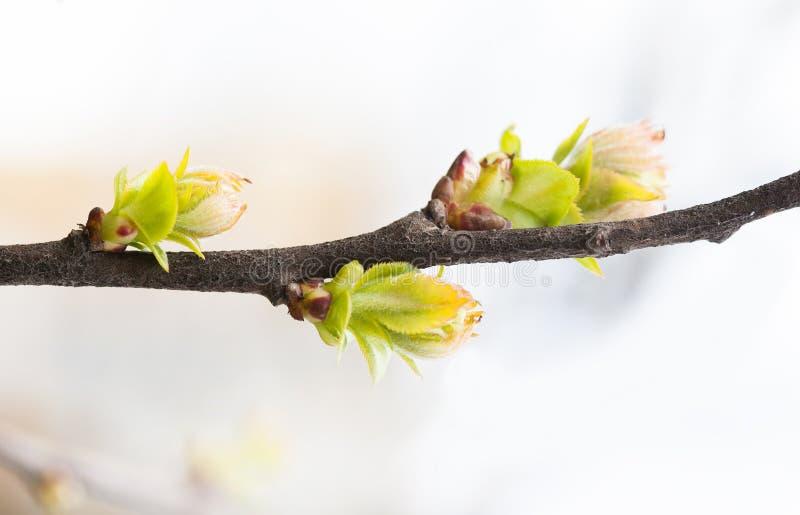 Όμορφος μαλακός τρυφερός κλάδος δέντρων άνοιξη με τα νέα φύλλα πρασινάδων Ρηχό βάθος του πεδίου, εκλεκτική εστίαση στοκ εικόνα