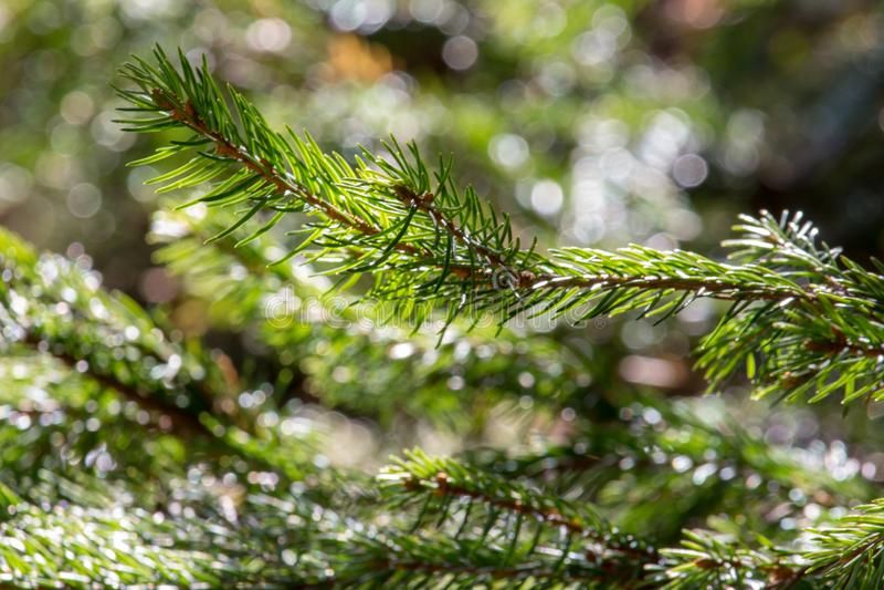 Όμορφος μικρός κωνοφόρος κλάδος στον ήλιο Νέα πράσινη κινηματογράφηση σε πρώτο πλάνο κλάδων χριστουγεννιάτικων δέντρων Κωνοφόρο δ στοκ εικόνες