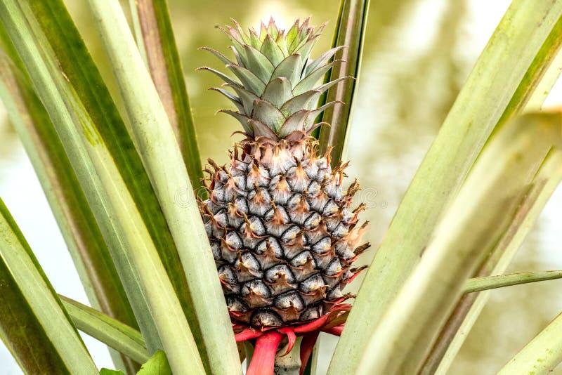 Όμορφος νέος ανανάς φρούτων ανάπτυξη αγροτικών στην τροπική φρούτων στοκ φωτογραφία με δικαίωμα ελεύθερης χρήσης