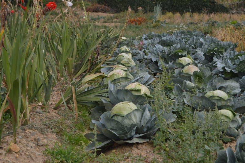Όμορφος οργανικός φυτικός κήπος που γεμίζουν με τα κουνουπίδια και το σκόρδο Valverde de Los Arroyos r Valverde de στοκ εικόνες