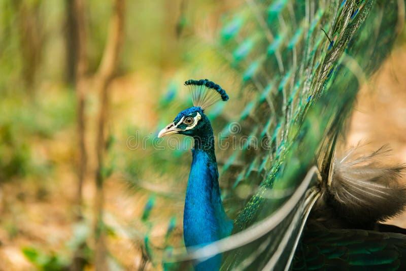 Όμορφος που διαδίδεται ενός peacock στοκ εικόνα