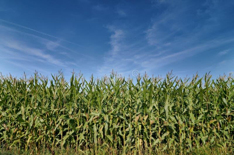 Όμορφος πράσινος τομέας του καλαμποκιού κάτω από έναν μπλε ουρανό στοκ φωτογραφία με δικαίωμα ελεύθερης χρήσης