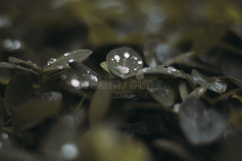 Όμορφος πυροβολισμός κινηματογραφήσεων σε πρώτο πλάνο των πράσινων φύλλων με τη δροσιά πρωινού σε τους στοκ εικόνες με δικαίωμα ελεύθερης χρήσης