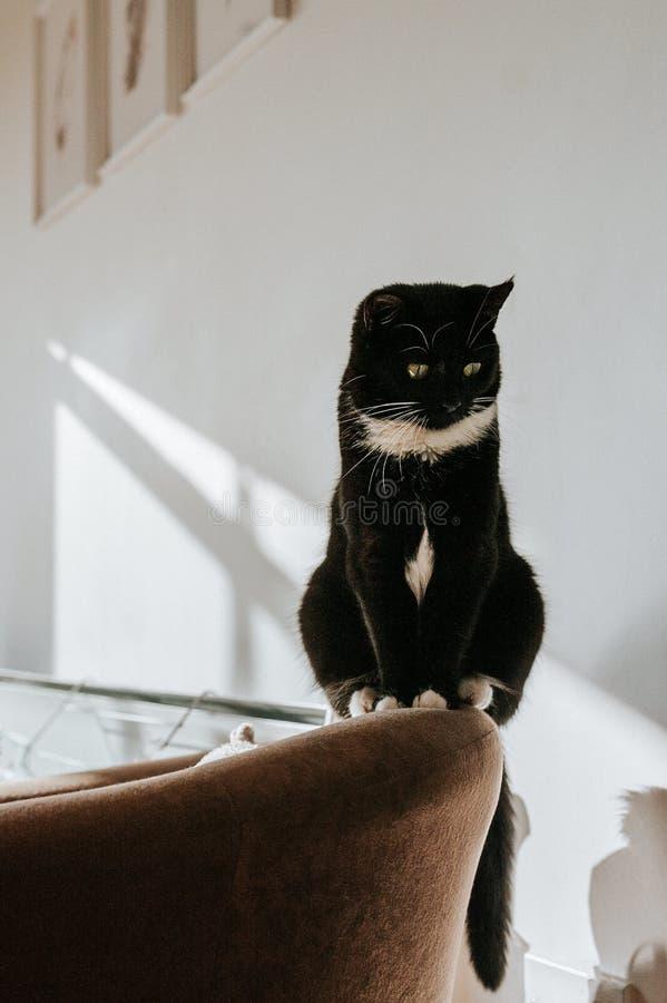 Όμορφος πυροβολισμός μιας χνουδωτής μαύρης γάτας που στέκεται σε μια καφετιά πολυθρόνα στοκ φωτογραφίες με δικαίωμα ελεύθερης χρήσης