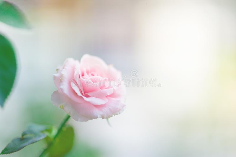 Όμορφος ρόδινος αυξήθηκε λουλούδια που ανθίζουν με το υπόβαθρο φωτός του ήλιου και θαμπάδων r στοκ εικόνες