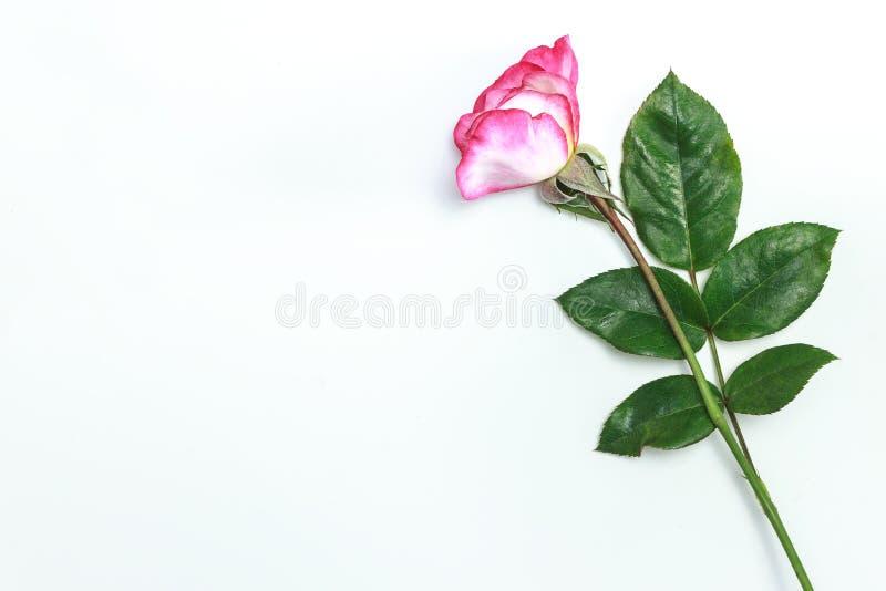 Όμορφος ρόδινος αυξήθηκε λουλούδι στο ρόδινο υπόβαθρο με το διάστημα αντιγράφων στοκ φωτογραφία
