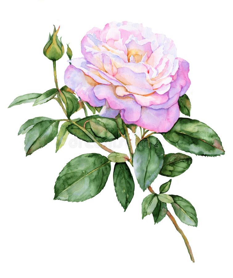 Όμορφος ρόδινος αυξήθηκε απεικόνιση watercolor λουλουδιών ελεύθερη απεικόνιση δικαιώματος