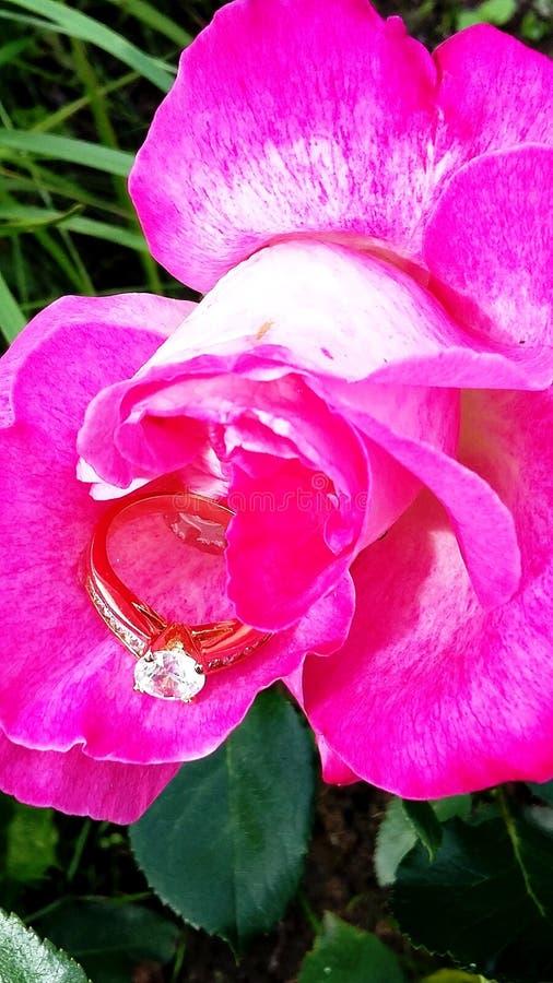 Όμορφος ρόδινος αυξήθηκε με ένα δαχτυλίδι στοκ φωτογραφία
