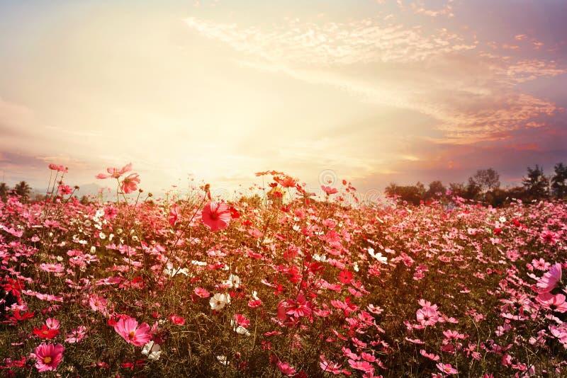 όμορφος ρόδινος και κόκκινος τομέας λουλουδιών κόσμου με την ηλιοφάνεια στοκ φωτογραφία με δικαίωμα ελεύθερης χρήσης