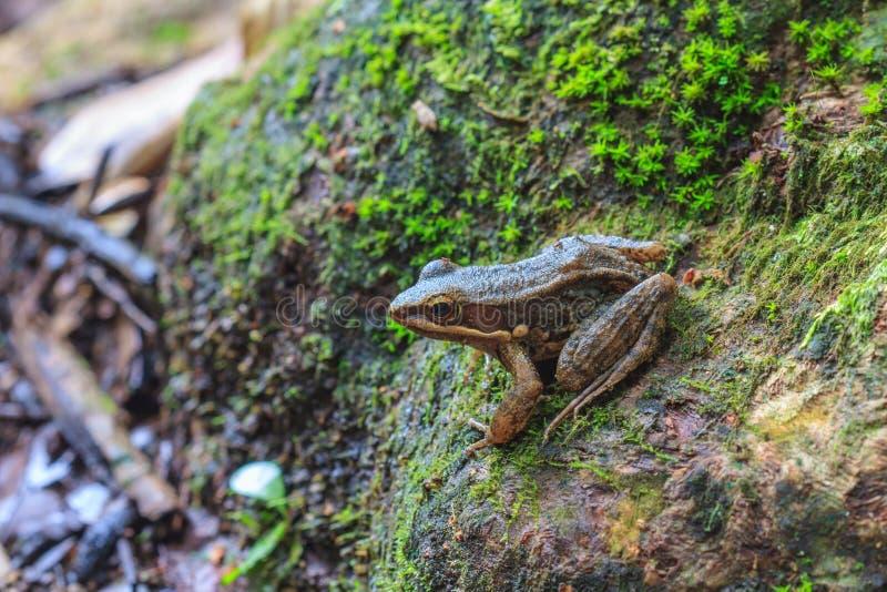 Όμορφος σκοτεινός-πλαισιωμένος βάτραχος στο δάσος στοκ εικόνες