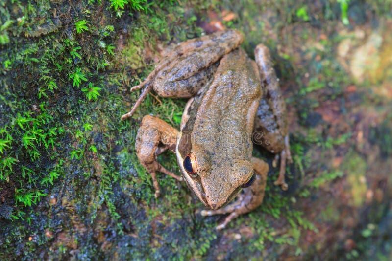 Όμορφος σκοτεινός-πλαισιωμένος βάτραχος στο δάσος στοκ φωτογραφία