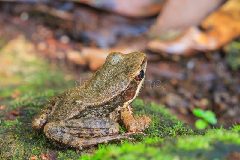 Όμορφος σκοτεινός-πλαισιωμένος βάτραχος στο δάσος στοκ φωτογραφία με δικαίωμα ελεύθερης χρήσης