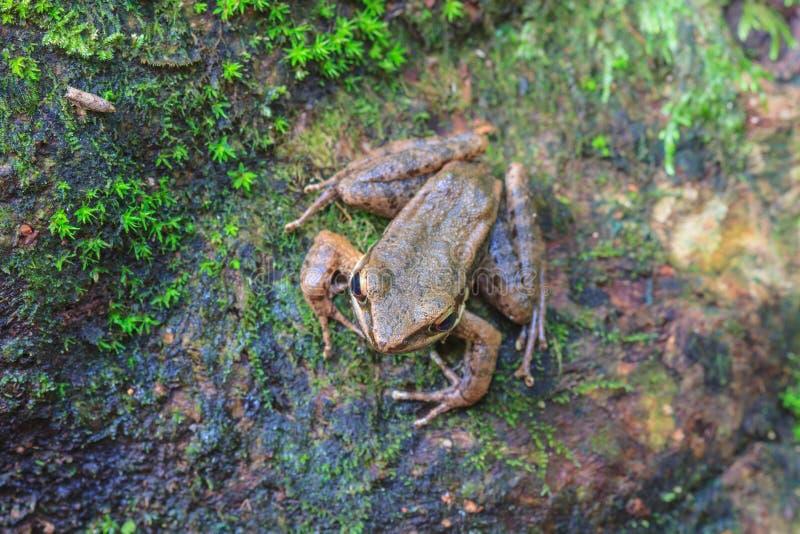 Όμορφος σκοτεινός-πλαισιωμένος βάτραχος στο δάσος στοκ εικόνα με δικαίωμα ελεύθερης χρήσης