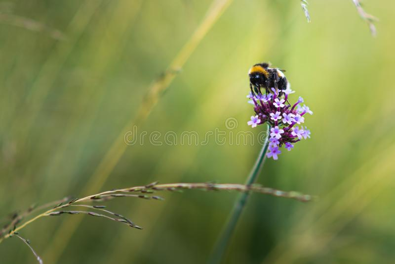 Όμορφος στενός επάνω μιας bumble μέλισσας που κάθεται σε ένα φωτεινό ρόδινο λουλούδι σε ένα θολωμένο έξω πράσινο κλίμα στοκ φωτογραφία