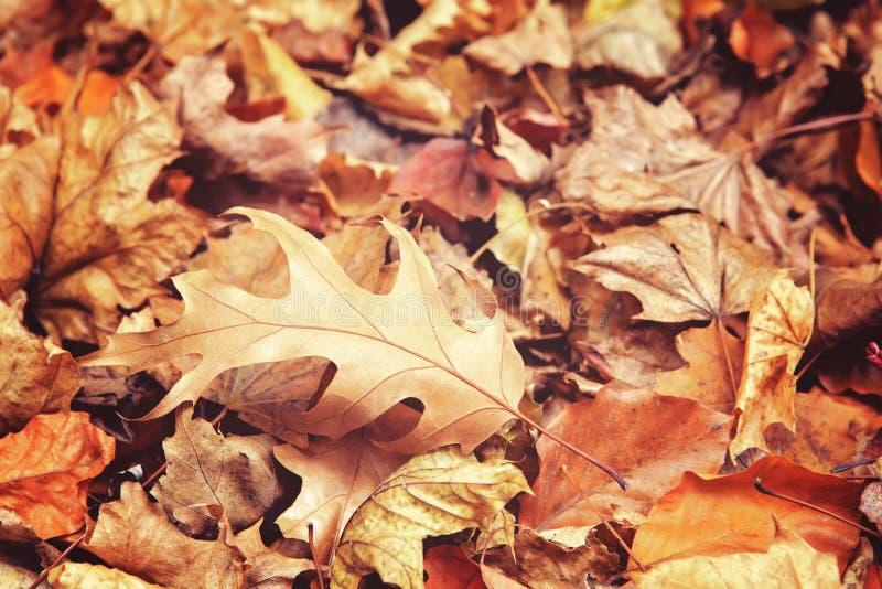 Όμορφος στενός επάνω του δρύινου φύλλου με τα ζωηρόχρωμα κίτρινα κόκκινα ξηρά φύλλα πτώσης φθινοπώρου στο υπόβαθρο, εποχή πτώσης, στοκ εικόνες