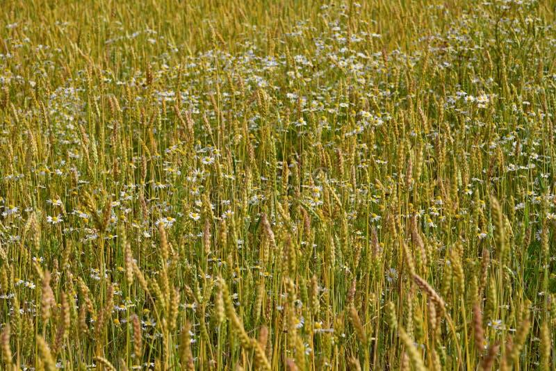 όμορφος τομέας δημητριακών με chamomile μια νεφελώδη ημέρα στοκ φωτογραφία