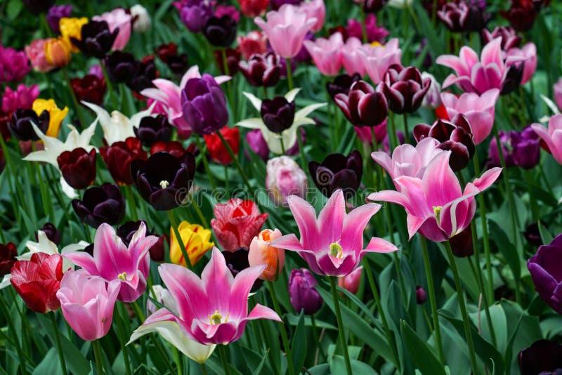 Όμορφος τομέας των διάφορων χρωμάτων των τουλιπών στοκ εικόνα
