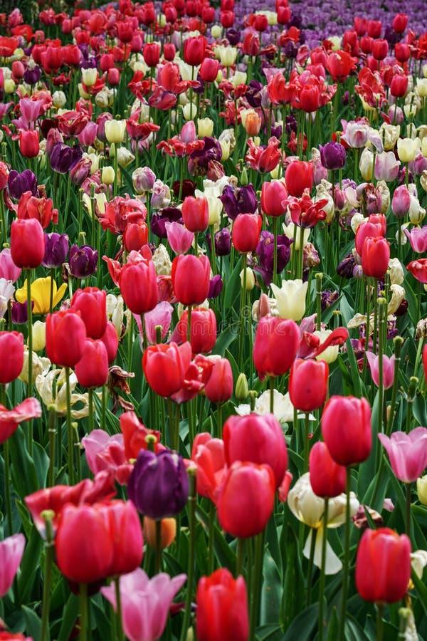 Όμορφος τομέας των διάφορων χρωμάτων των τουλιπών στοκ εικόνα με δικαίωμα ελεύθερης χρήσης