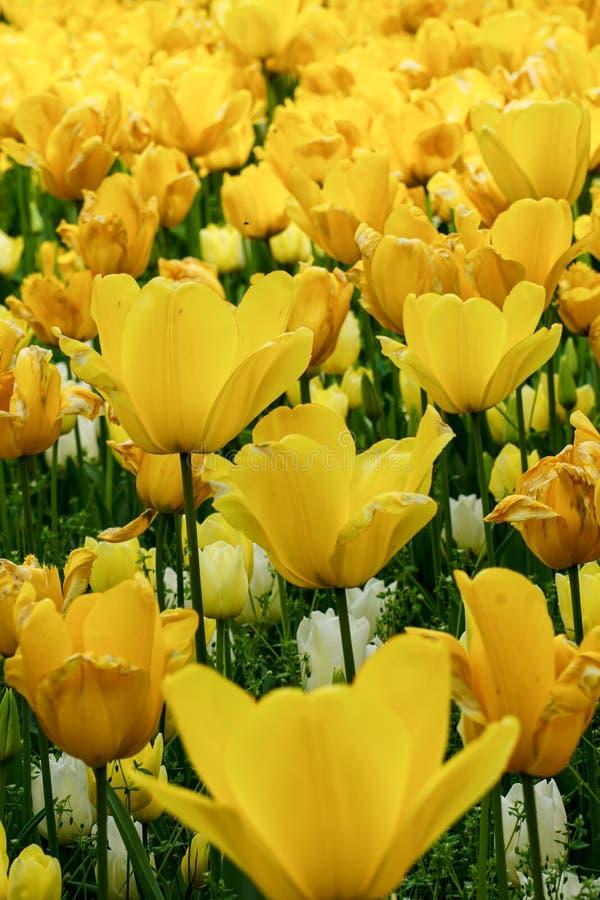 Όμορφος τομέας των κίτρινων τουλιπών στοκ φωτογραφία